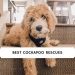 Best-Cockapoo-Rescues